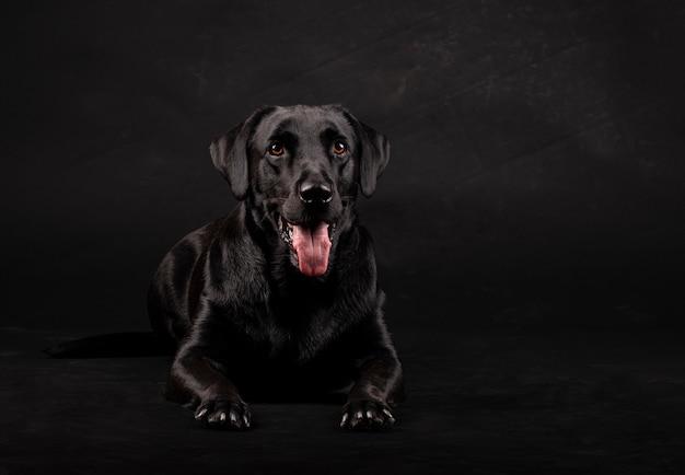 Zwarte labrador hond met oranje ogen en tong die uit ligt