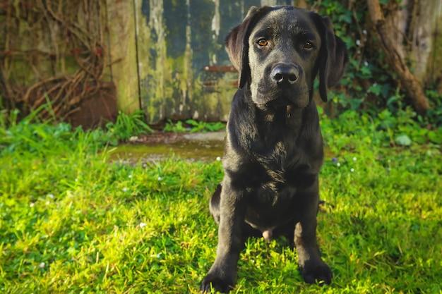 Zwarte labrador pup op het gras. gelukkige hond zit in het park.