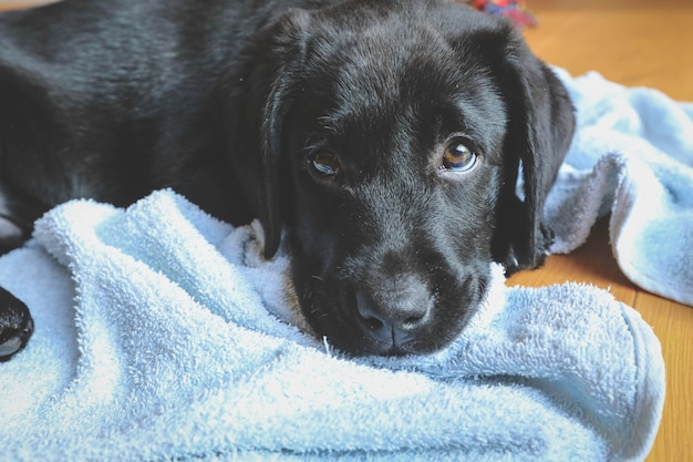Zwarte labrador-puppy die met hoofd op de vloer legt