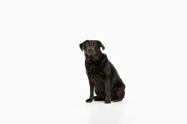 Zwarte labrador retriever plezier. leuke speelse hond of rasecht huisdier ziet er speels en schattig uit geïsoleerd op wit