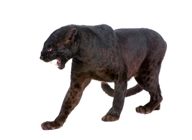 Zwarte luipaard binnen op een geïsoleerd wit