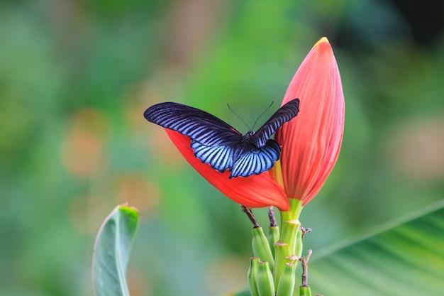 Zwarte mannelijke grote mormon open vleugel op boom