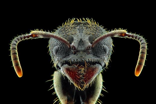 Zwarte mier gezicht macro