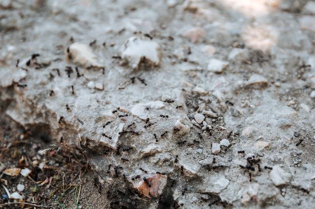 Zwarte mieren kruipen over de stenenteamwork hymenoptera insecten