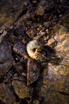 Zwarte mieren (ponerinae) die een rups eten die van een tak is gevallen. chanchamayo, peru