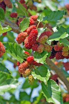 Zwarte moerbeiboom bedekt met fruit