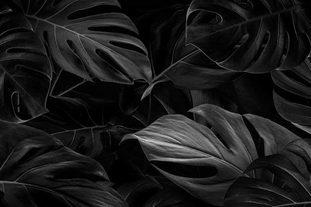 Zwarte monstera bladeren achtergrondbehang