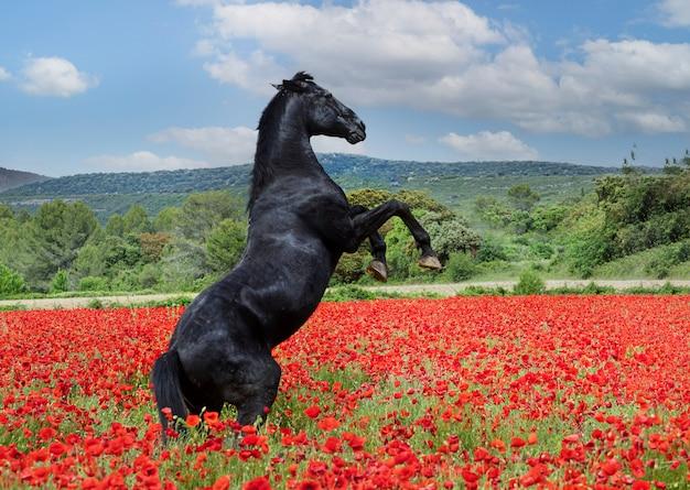 Zwarte paardenhengst die opgroeit in de klaproos