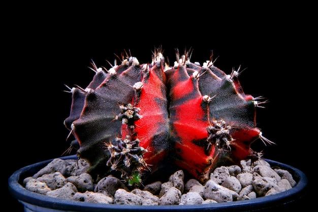 Zwarte parel gymnocalycium cactus op plantpot on