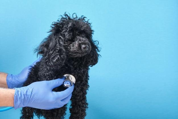 Zwarte pluizige speelgoedpoedel bij de afspraak van de dierenarts, blauwe muur kopie ruimte, doktershand met een stethoscoop die de hond test