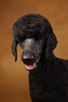 Zwarte poedel op bruine achtergrond
