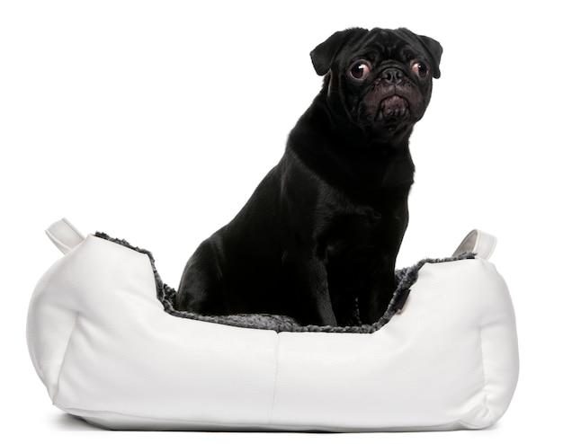 Zwarte pug zitten in hondenmand