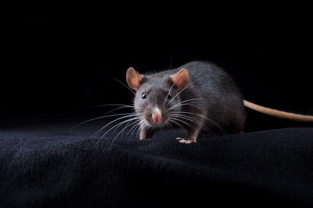 Zwarte rat op zwart