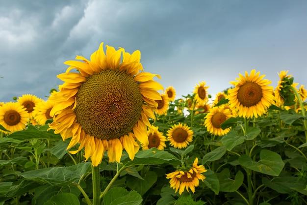 Zwarte regenwolken boven een veld met zonnebloemen