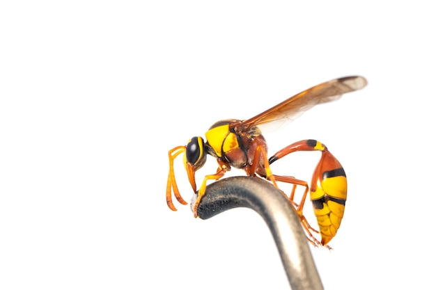 Zwarte rug modder-wesp geïsoleerd. dier. insect.