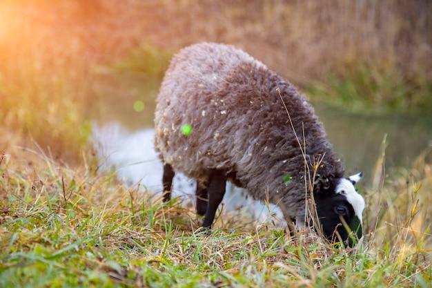 Zwarte schapen grazen in het gras bij de veranda van het huis in de zon