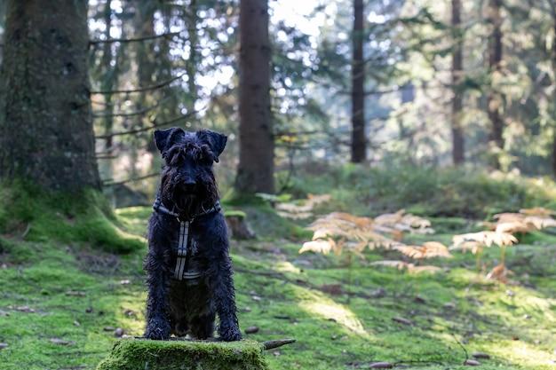 Zwarte schnauzer in een park
