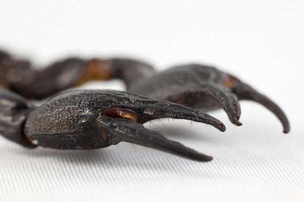 Zwarte schorpioen klauwen
