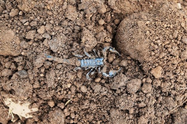 Zwarte schorpioen op vuile grondgrond
