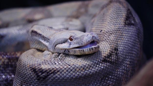 Zwarte slang