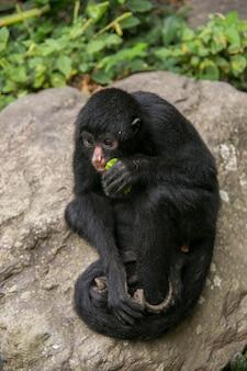 Zwarte spinaap in yungas