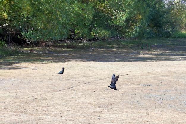Zwarte steltloper (himantopus novaezelandiae)