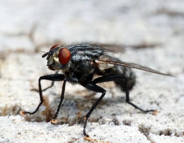 Zwarte vlieg met rode ogen op een witte ondergrond