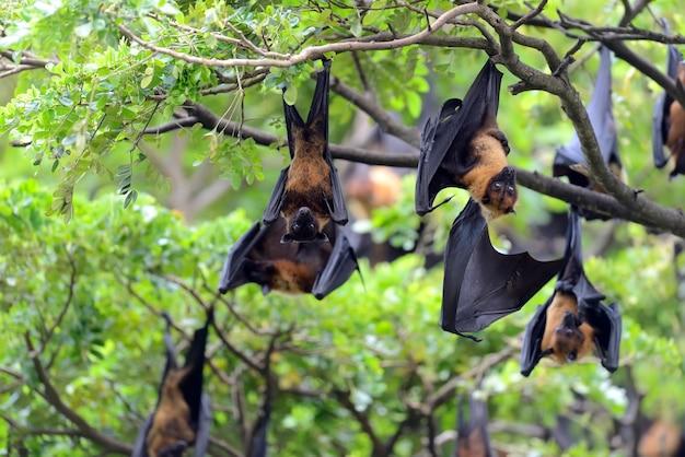 Zwarte vliegende vossen die in een boom hangen
