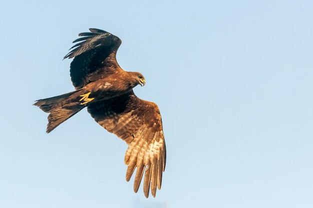 Zwarte vlieger die met vrijheid in blauwe hemel vliegt