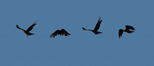 Zwarte vlieger die over de hemel vliegt