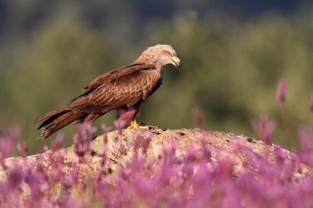 Zwarte vlieger op een rots met het eerste daglicht