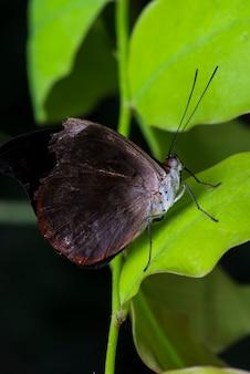 Zwarte vlinder in zijn natuurlijke habitat