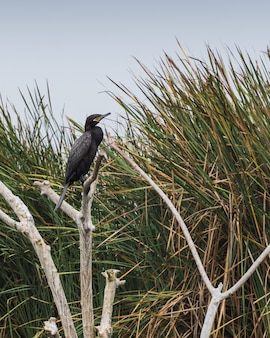 Zwarte vogel genaamd cushuri o cormorã¡n staande op takken met totora planten achtergrond in pantanos de villa lima peru