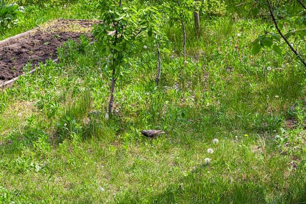 Zwarte vogel in de tuin. voorjaarsbloeiend in tuinen en bossen. groene bladeren.