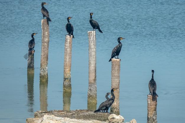 Zwarte vogels die op uitgehouwen bossen staan, worden overdag in het water gezet