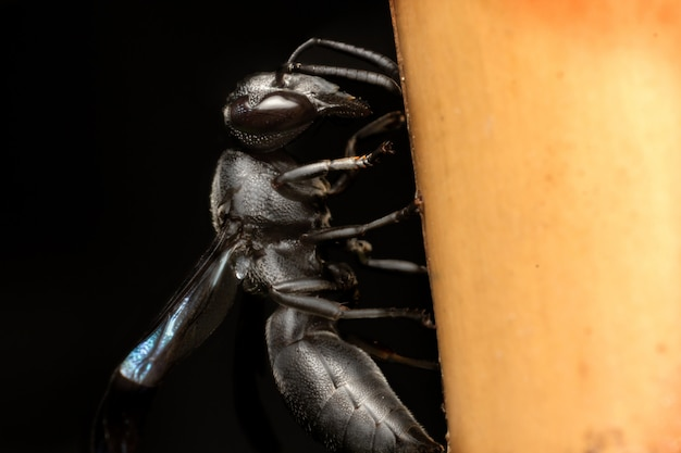 Zwarte wesp met blauwe vleugels die op de bamboepaal bijten