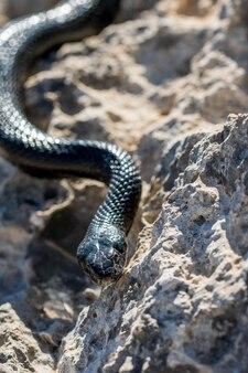 Zwarte westelijke zweepslang, hierophis viridiflavus, glibberend op rotsen en droge vegetatie in malta