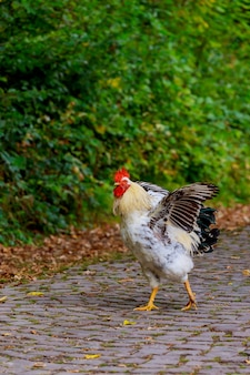 Zwarte witte kip op de weg