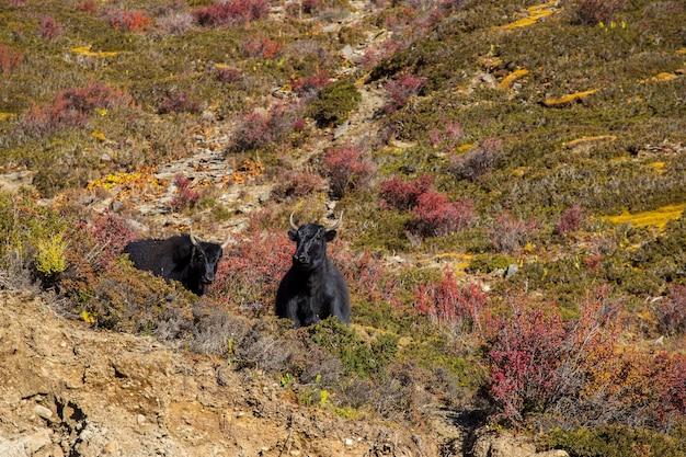 Zwarte yaks grazen hoog in de bergen