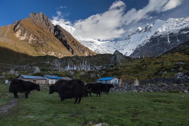 Zwarte yaks grazen in het centrum van het bergdorp kyanjin gompa in de ochtend