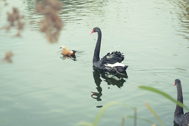Zwarte zwaan die in een vijver zwemt