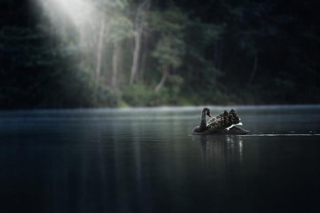Zwarte zwaan die op blauw meerwater drijft