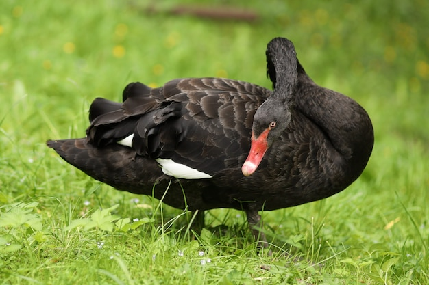 Zwarte zwaan grazen op gras