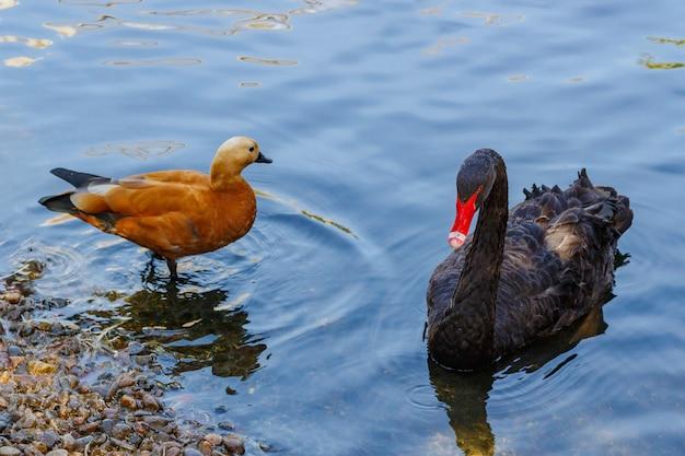 Zwarte zwaan op het meer in de dierentuin. cygnus atratus