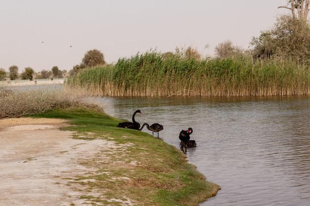 Zwarte zwanen op een verlaten meer in een park, dubai