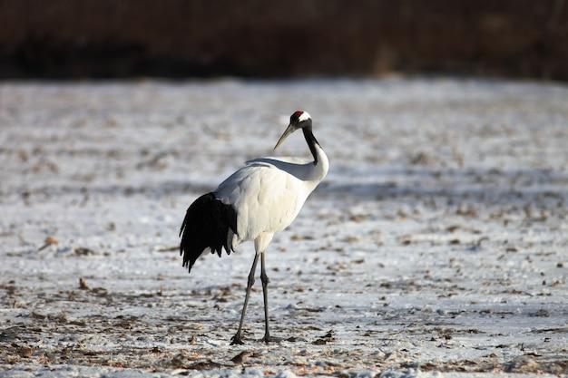 Zwarthalskraanvogel staande op de grond bedekt met de sneeuw in hokkaido in japan