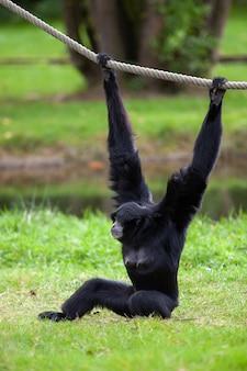 Zwartkopspinaap hangt aan een touw in een duits park