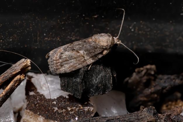 Zwartolijfrupsmot van de soort garella nilotica