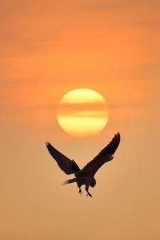 Zwartschoudervlieger havik vliegt 's avonds terug naar het nest