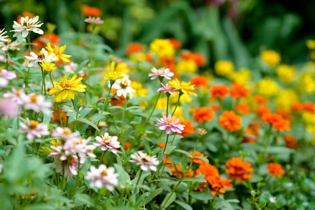 Zwavel cosmos bloemen